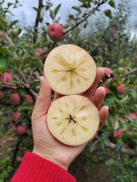 【半岛商城】老树糖心苹果 可以媲美新疆阿克苏的苹果 无农残孕妇小孩放心吃!