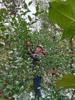 【半岛商城】老树糖心苹果 可以媲美新疆阿克苏的苹果 无农残孕妇小孩放心吃! 商品缩略图1