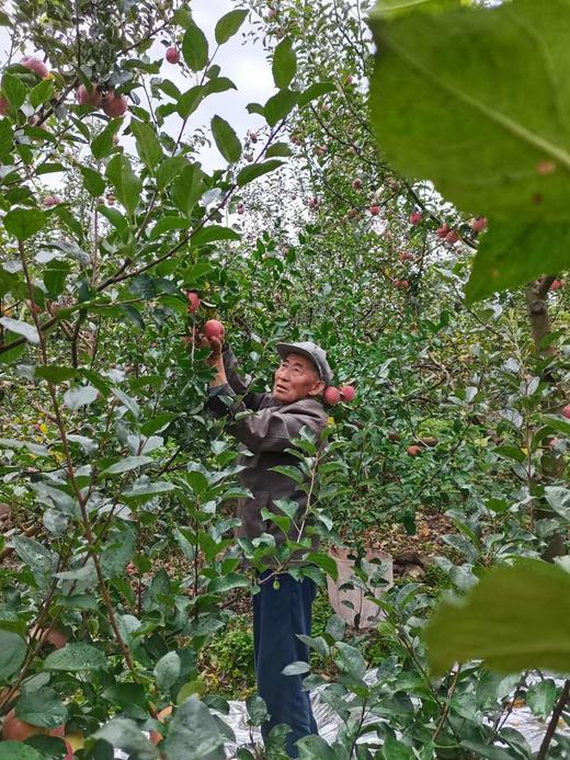 【半岛商城】老树糖心苹果 可以媲美新疆阿克苏的苹果 无农残孕妇小孩放心吃! 商品图1
