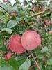 【半岛商城】老树糖心苹果 可以媲美新疆阿克苏的苹果 无农残孕妇小孩放心吃! 商品缩略图3