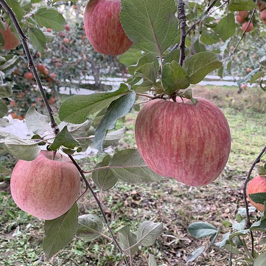 新疆阿克苏苹果 甘甜味厚 汁多无渣 皮薄肉厚 新鲜采摘 5斤 商品图4