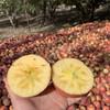 新疆阿克苏苹果 甘甜味厚 汁多无渣 皮薄肉厚 新鲜采摘 5斤 商品缩略图2