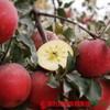 【全国包邮】新疆阿克苏冰糖心苹果(72小时内发货) 商品缩略图4