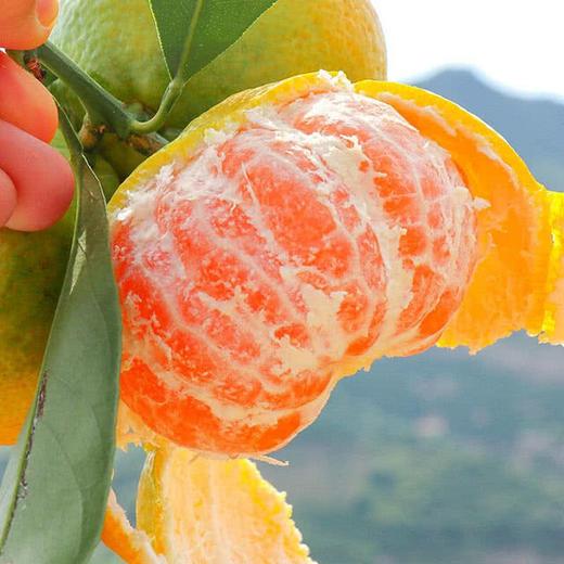 助农丨湖北宜都蜜桔 皮薄易剥  新鲜应季水果 酸甜可口 产地直发 商品图3