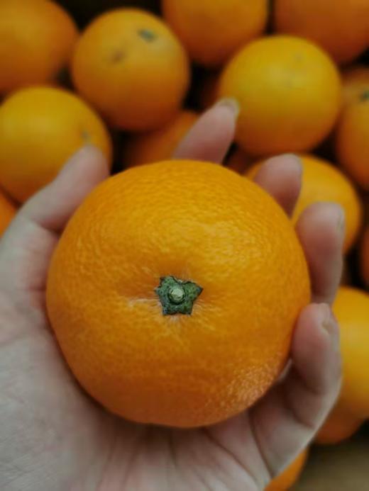 【半岛商城】柑橘爱媛28号红美人甜橙 5斤装/10斤装 商品图3