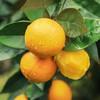 助农 | 秭归脐橙纽荷尔香橙 不打蜡 果肉饱满多汁 果园现摘现发 商品缩略图3