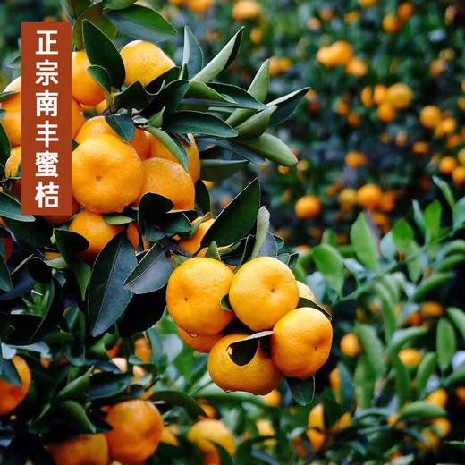 江西南丰蜜桔  甜小贡桔 当季新鲜水果  甜蜜多汁  产地直供 商品图3