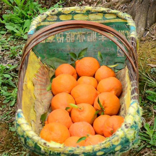 鲜嫩爆汁的椪柑 果粒颗颗饱满 柑味浓郁 产地采摘新鲜直达 3/5/9斤装 商品图2