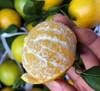 【新鲜到货】当季新鲜水果新鲜现摘皇帝柑5斤 商品缩略图0