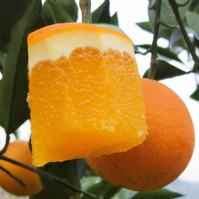 """【湖南.麻阳冰糖橙】乡村振兴,助力销售,""""中国冰糖橙之乡"""",汁多肉脆,甜润爽口,小个头大甜蜜,像冰糖一样甘甜的橙子。"""