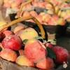 【半岛商城】新疆阿克苏苹果 毛重11斤 净重9.3斤以上 20枚果左右 80-85规格 商品缩略图3