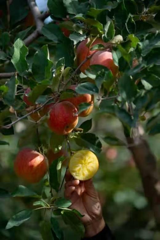 【半岛商城】新疆阿克苏苹果 毛重11斤 净重9.3斤以上 20枚果左右 80-85规格 商品图1