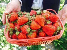 嘉兴草莓采摘地图来啦!44.9元享2大1小草莓入园畅吃!嘉兴多家果园通用!