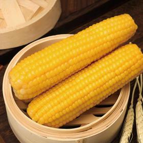 精选 |  黄糯玉米  美食美味   口感粘糯 籽粒饱满
