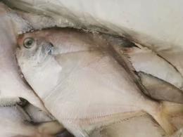 【半岛商城】舟山野生鲳鱼毛重5斤/箱 约26-30条左右