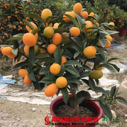 【珠三角包邮】留佛过大年:小品金桔盆景  50cm高(1月27日到货)
