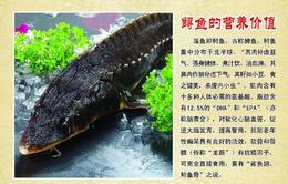 【半岛商城】预售丨新鲜捕捞鲟龙鱼 淡水鱼 高营养 丰富胶原蛋白